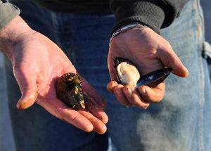 Penn-Cove-Shellfish